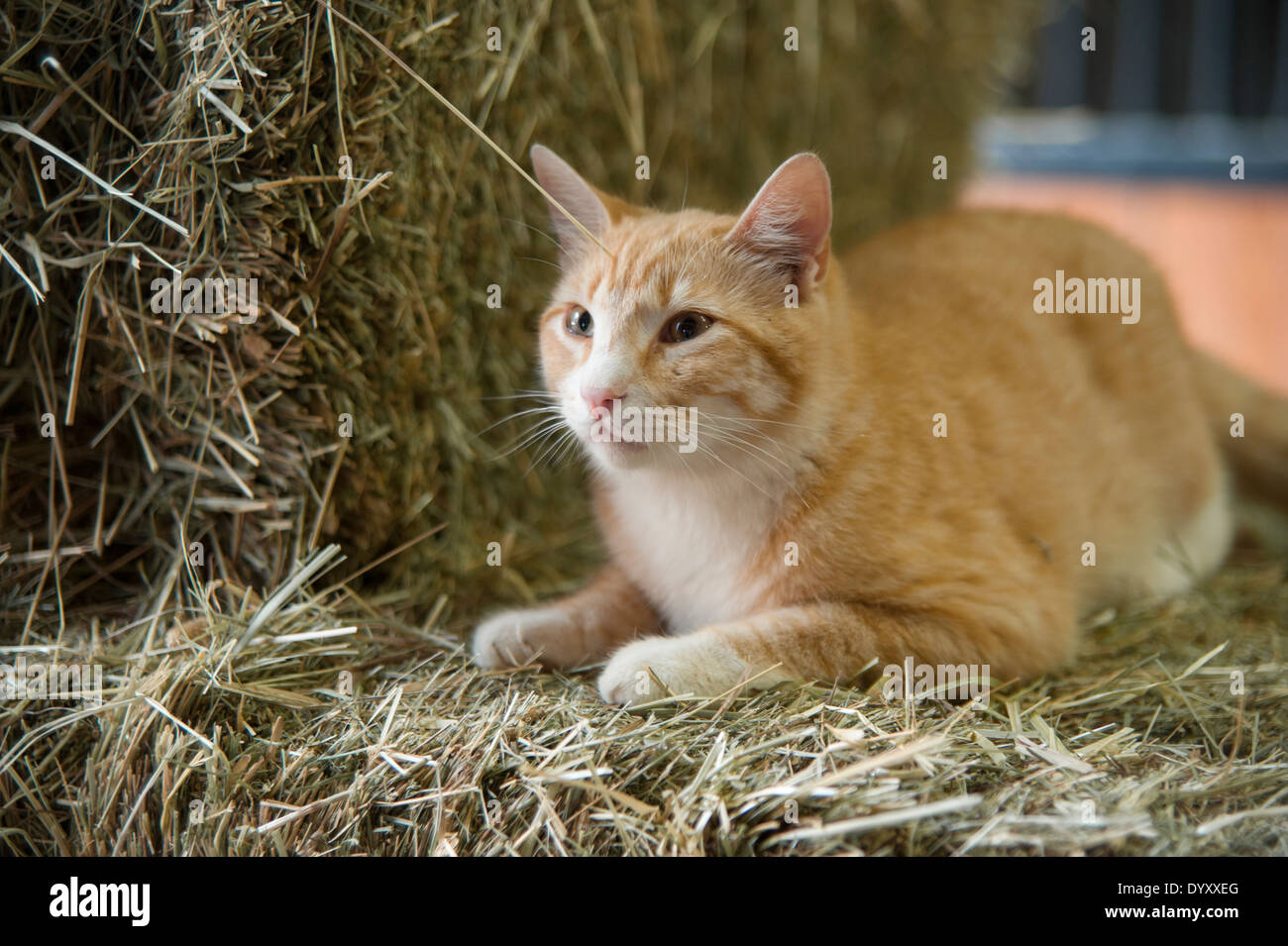 Cat lying on bail of straw - Stock Image