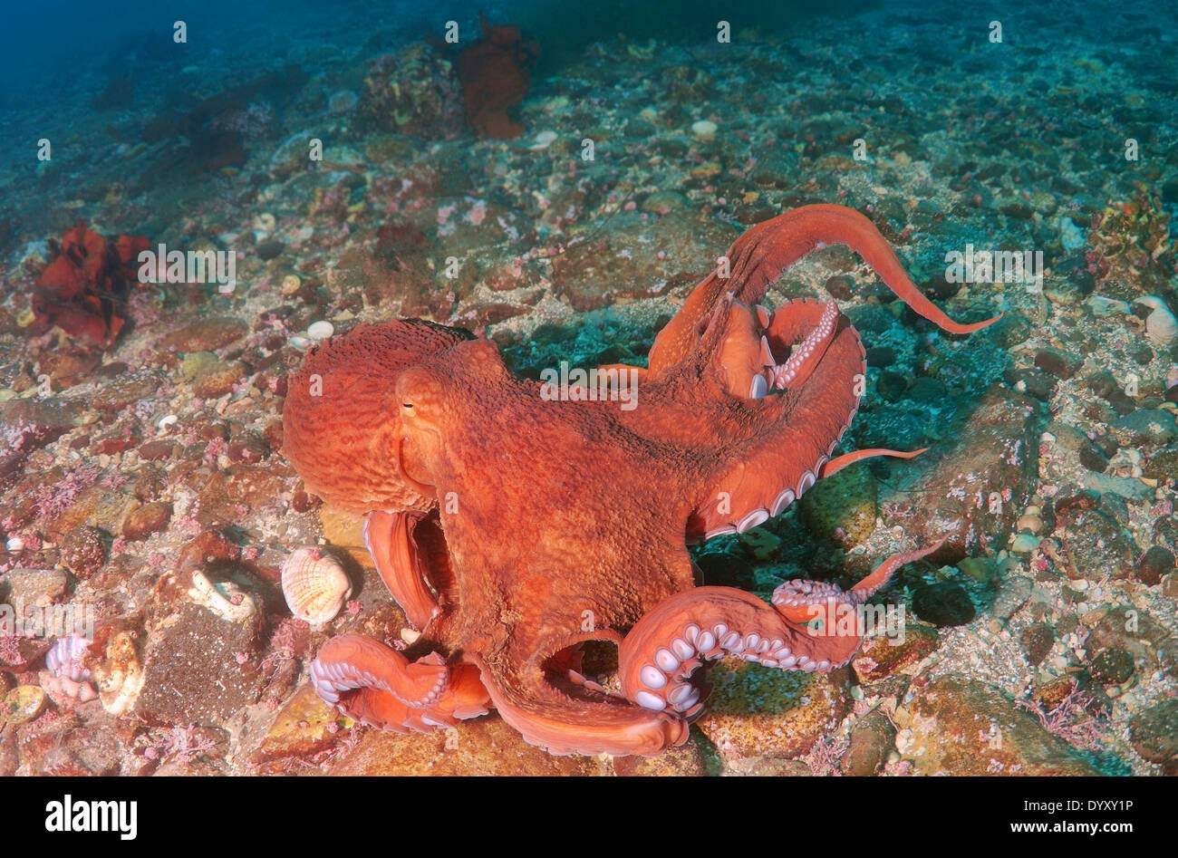 Giant Pacific octopus or North Pacific giant octopus, (Enteroctopus dofleini). Japan sea, Far East, Primorsky Krai, Russia - Stock Image