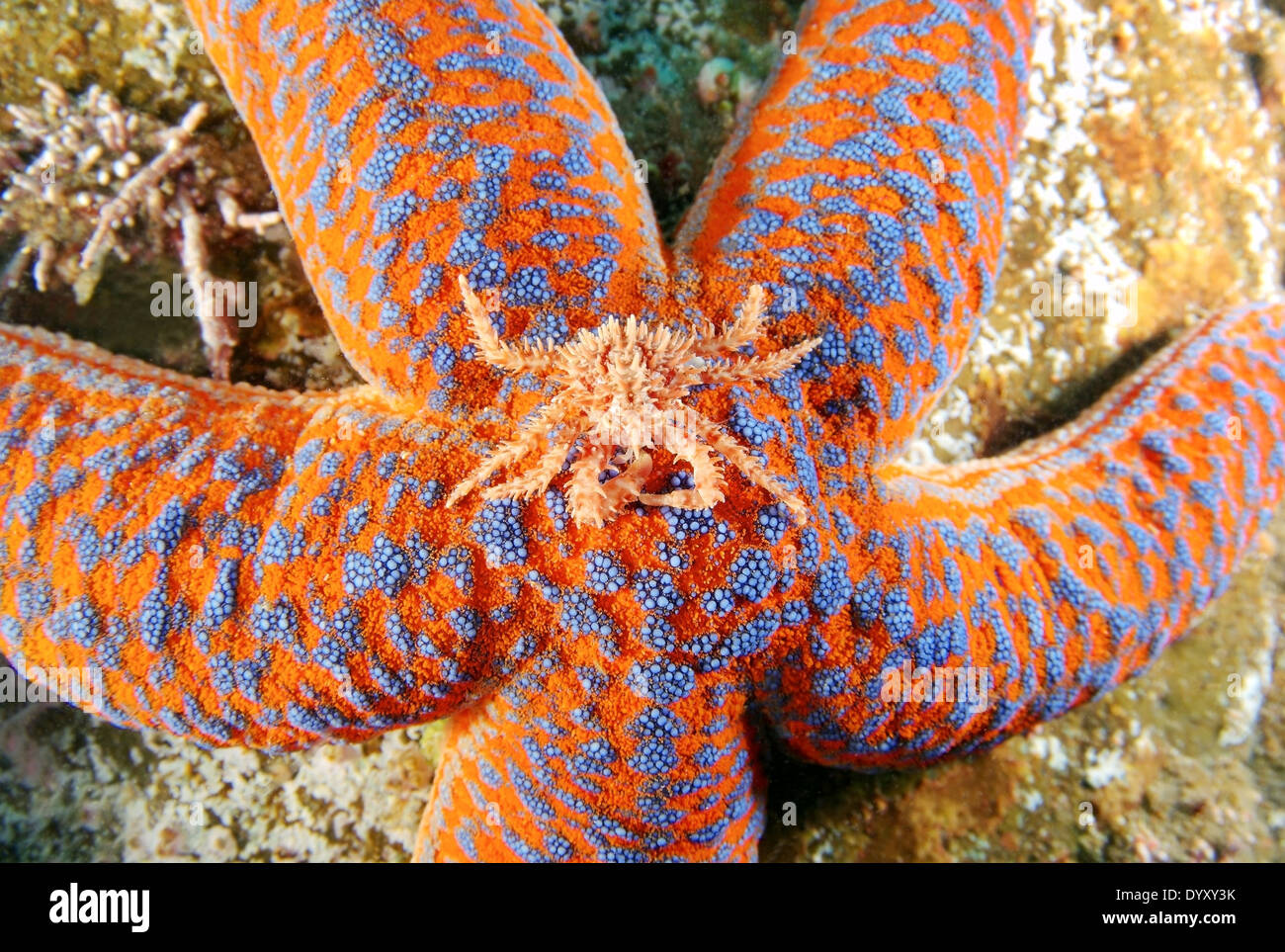 young Red King crab (Paralithodes camtschaticus) sits on a starfish (evasterias retifera) Japan sea, Far East, Primorsky Krai, Stock Photo