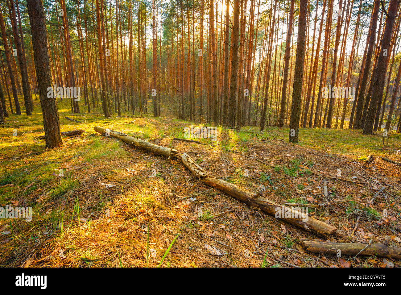 Sunlight In Green Coniferous Forest, Summer Time - Stock Image