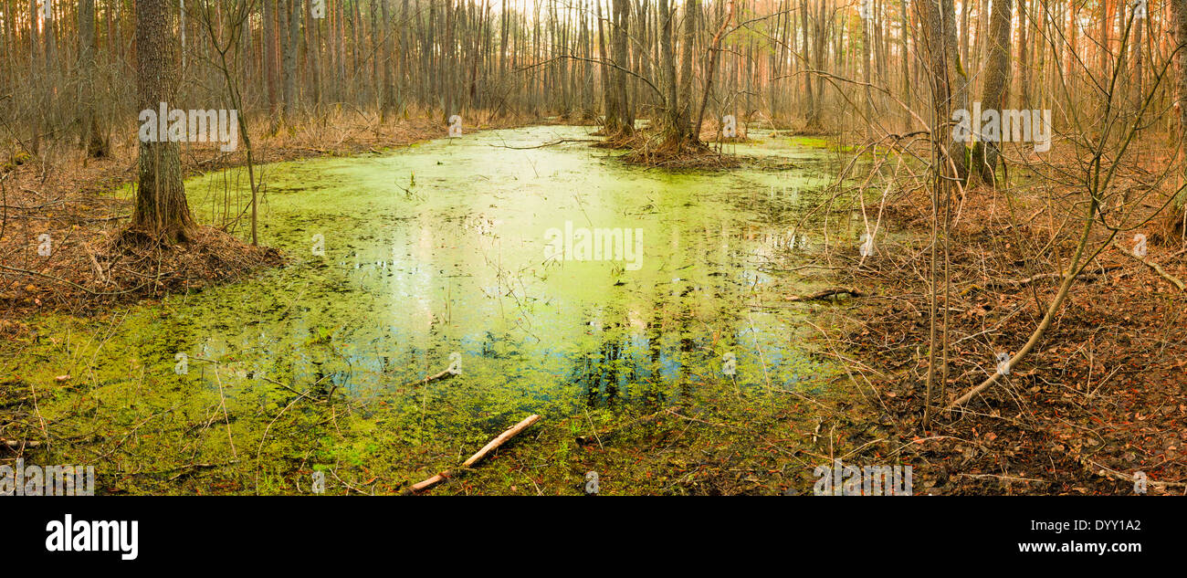 Wild Bog Swamp. Russian Nature In Spring - Stock Image