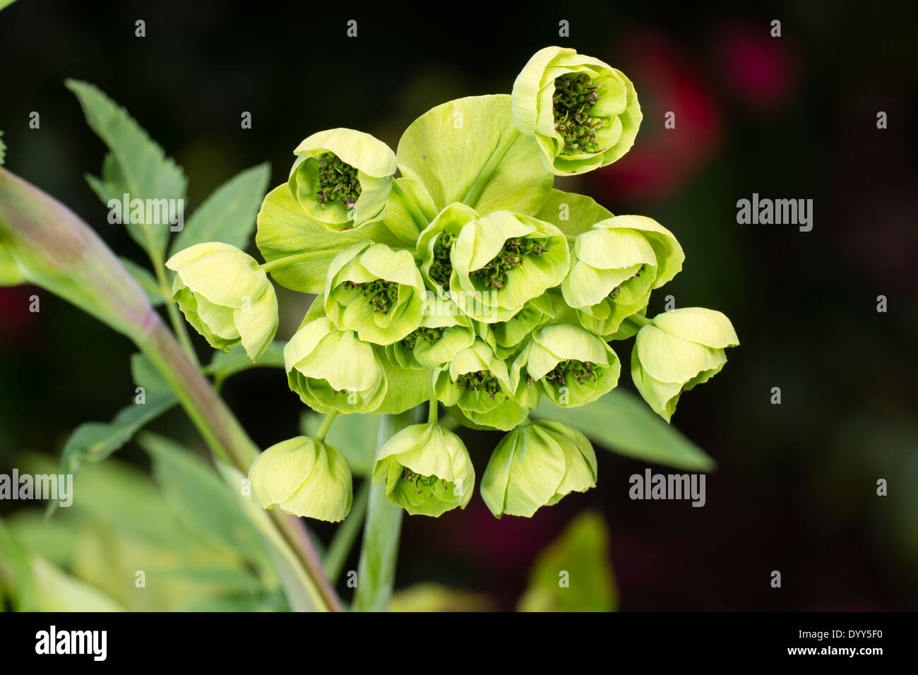 Fresh spring flowers of the mexican perennial mathiasella stock fresh spring flowers of the mexican perennial mathiasella bupleuroides green dream mightylinksfo