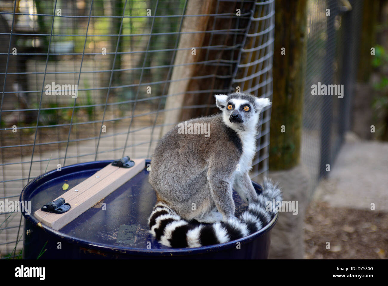Lemur at the San Diego Zoo Safari Park /  © Craig M. Eisenberg - Stock Image
