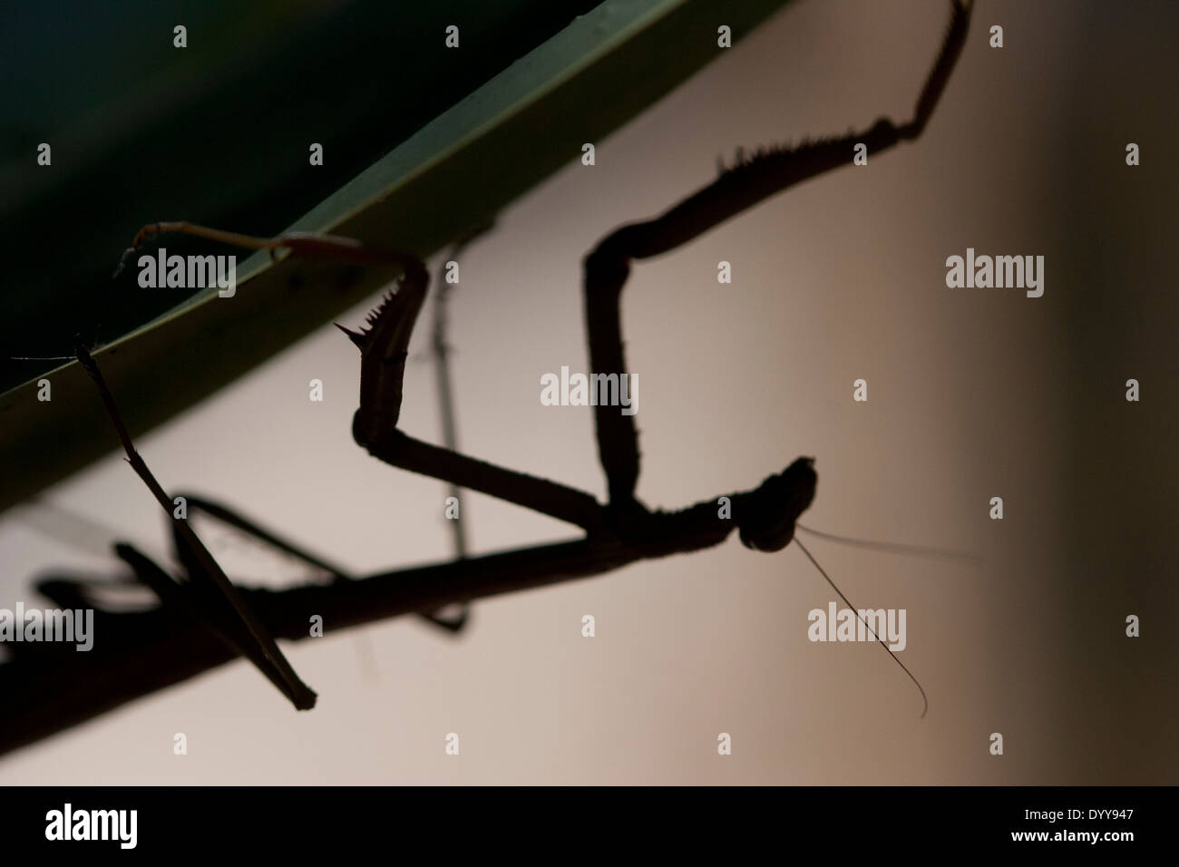 close up of preying mantis silhouette on a leaf backlit with a short depth of field - Stock Image