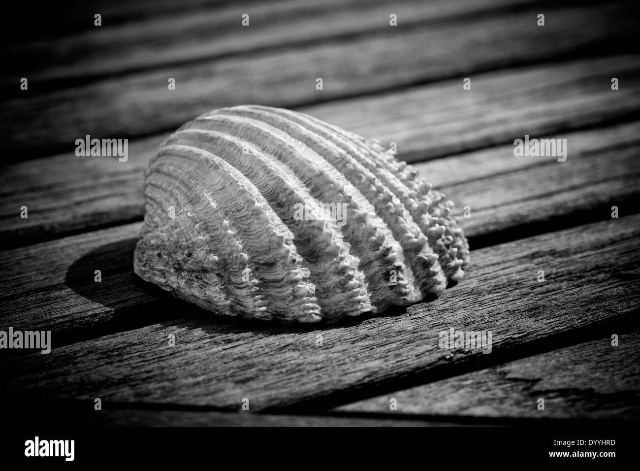 Sea shell black and white stock photos images alamy