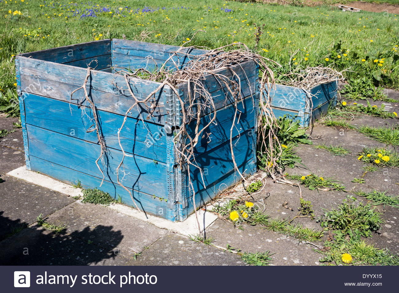 Raised bed on an allotment with dead plants - Stock Image