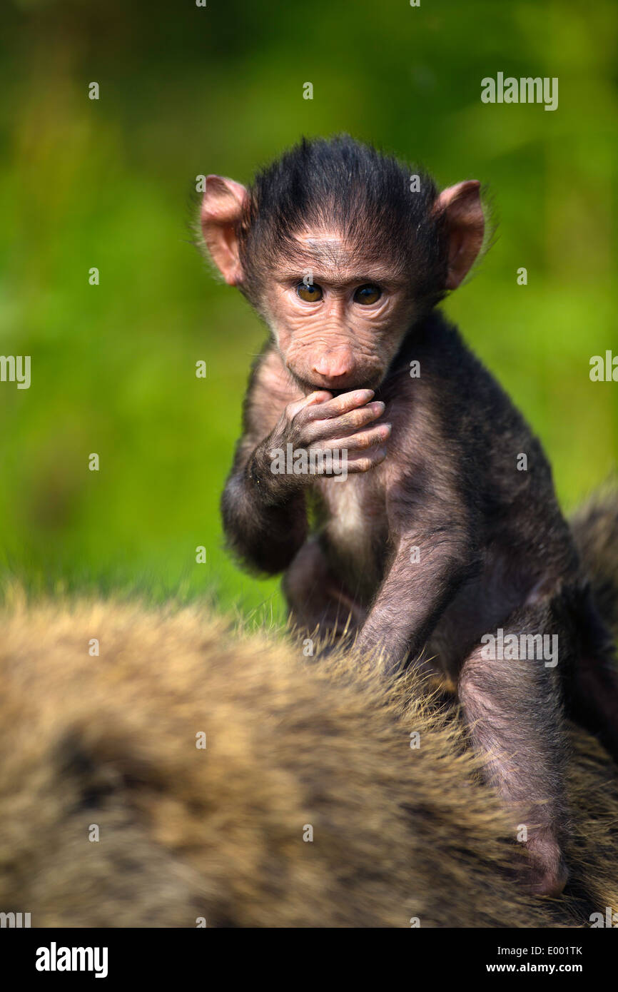 Baby Chacma baboon (Papio ursinus) riding on his mothers back.Lake Nakuru National Park.Kenya - Stock Image