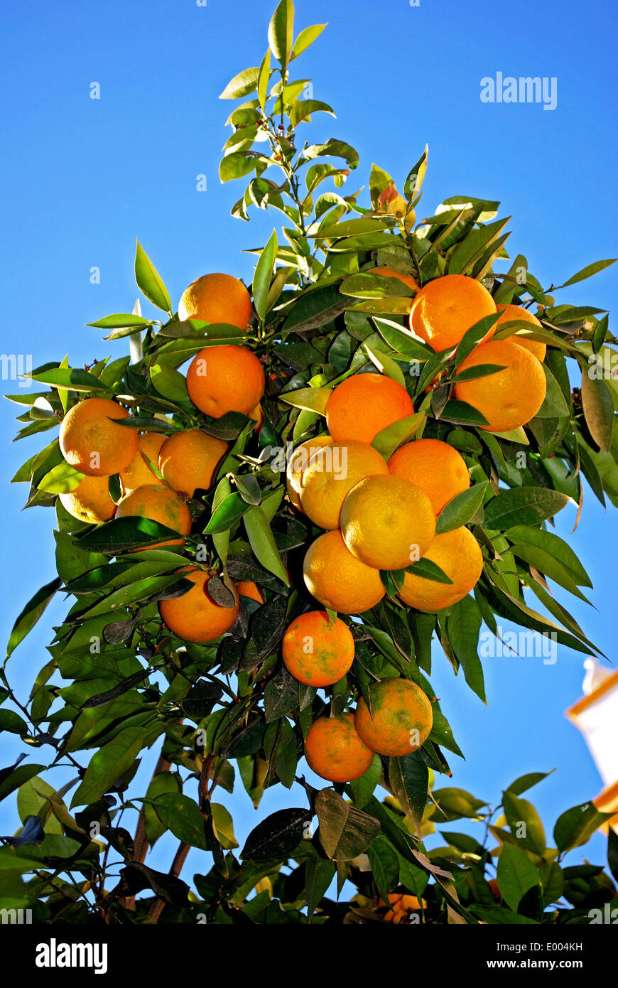 Ripe Seville oranges on a tree, Seville, Seville Province, Andalusia, Spain, Western Europe. Stock Photo