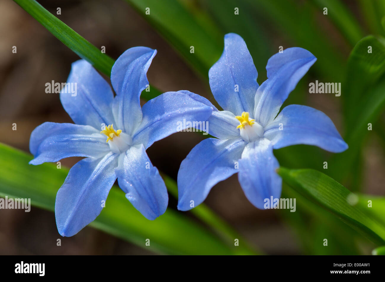 Chionodoxa Luciliae Or Glory Of The Snow Tiny Purple Blue Flowers