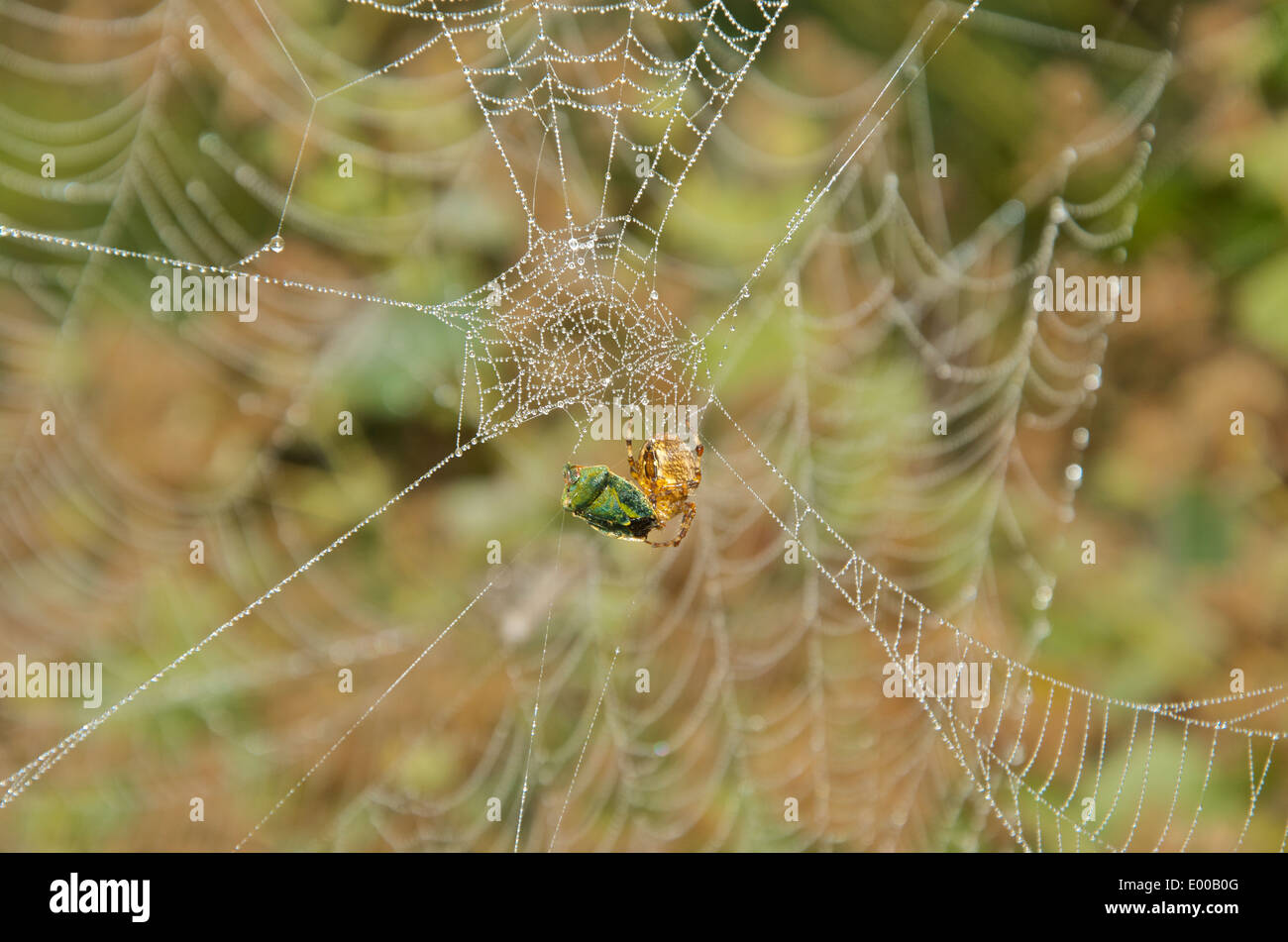 Garden spider devours green Shield bug on a partly spun web illuminated with raindrops - Stock Image