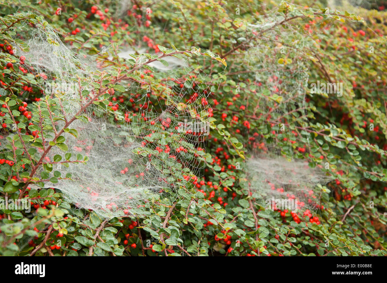 Spider's webs draped on Cotoneaster with red berries in early autumn - Stock Image