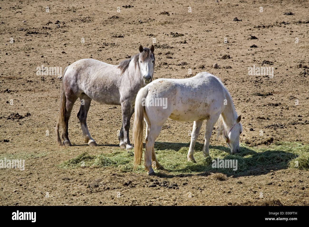 Wild horses in corrals at the BLM Wild Horse Center in Burns, Oregon - Stock Image