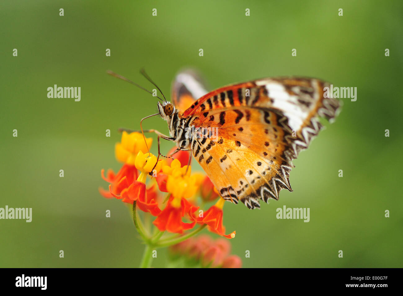 A Lacewing butterfly feeding on flowers - Stock Image