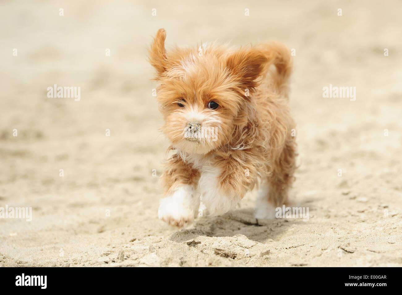 A Cute Dog Running On The Beach Stock Photo 68854319 Alamy