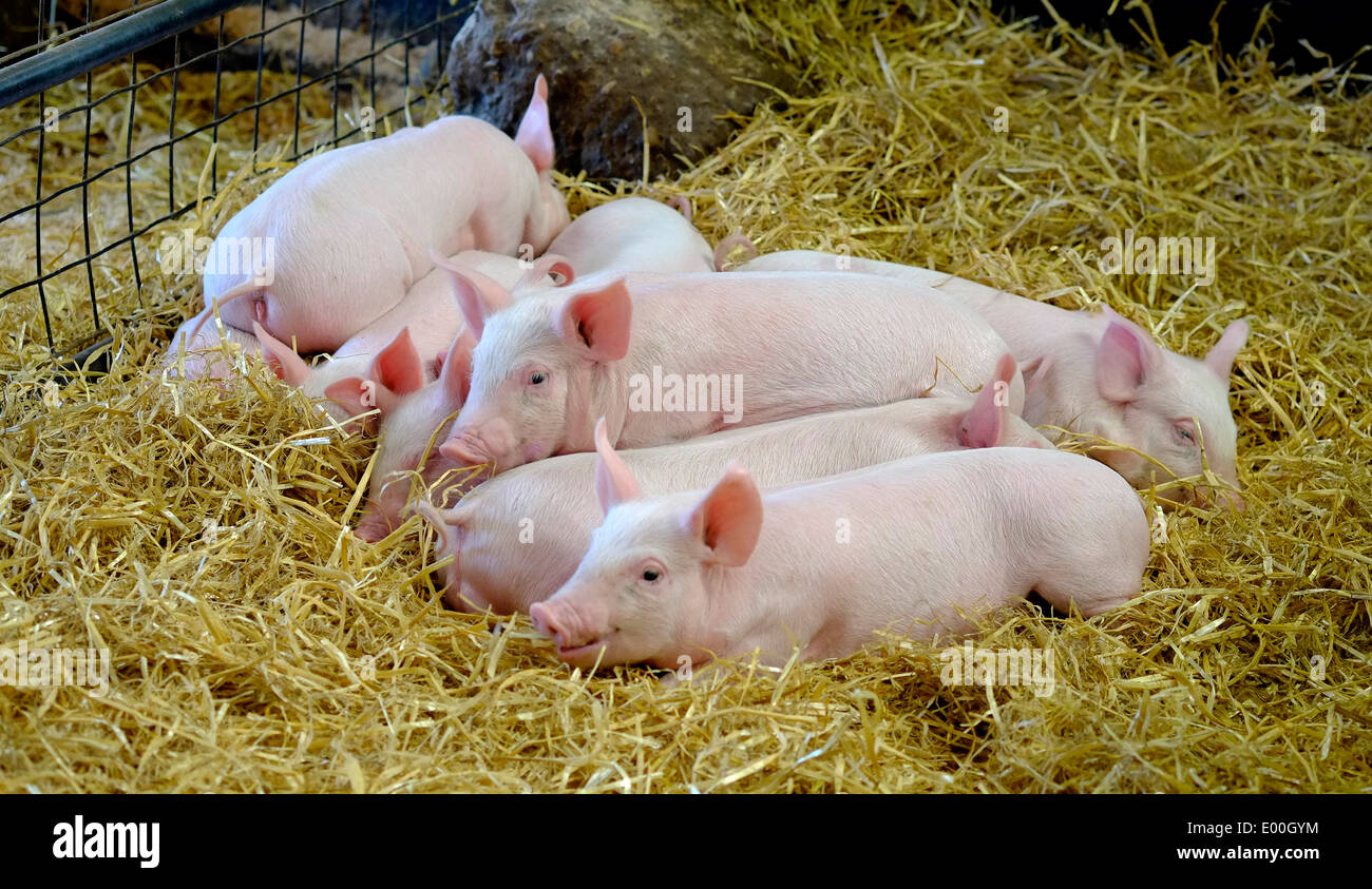 Piglets in a barn laying in hay White Post Farm Nottinghamshire England uk - Stock Image