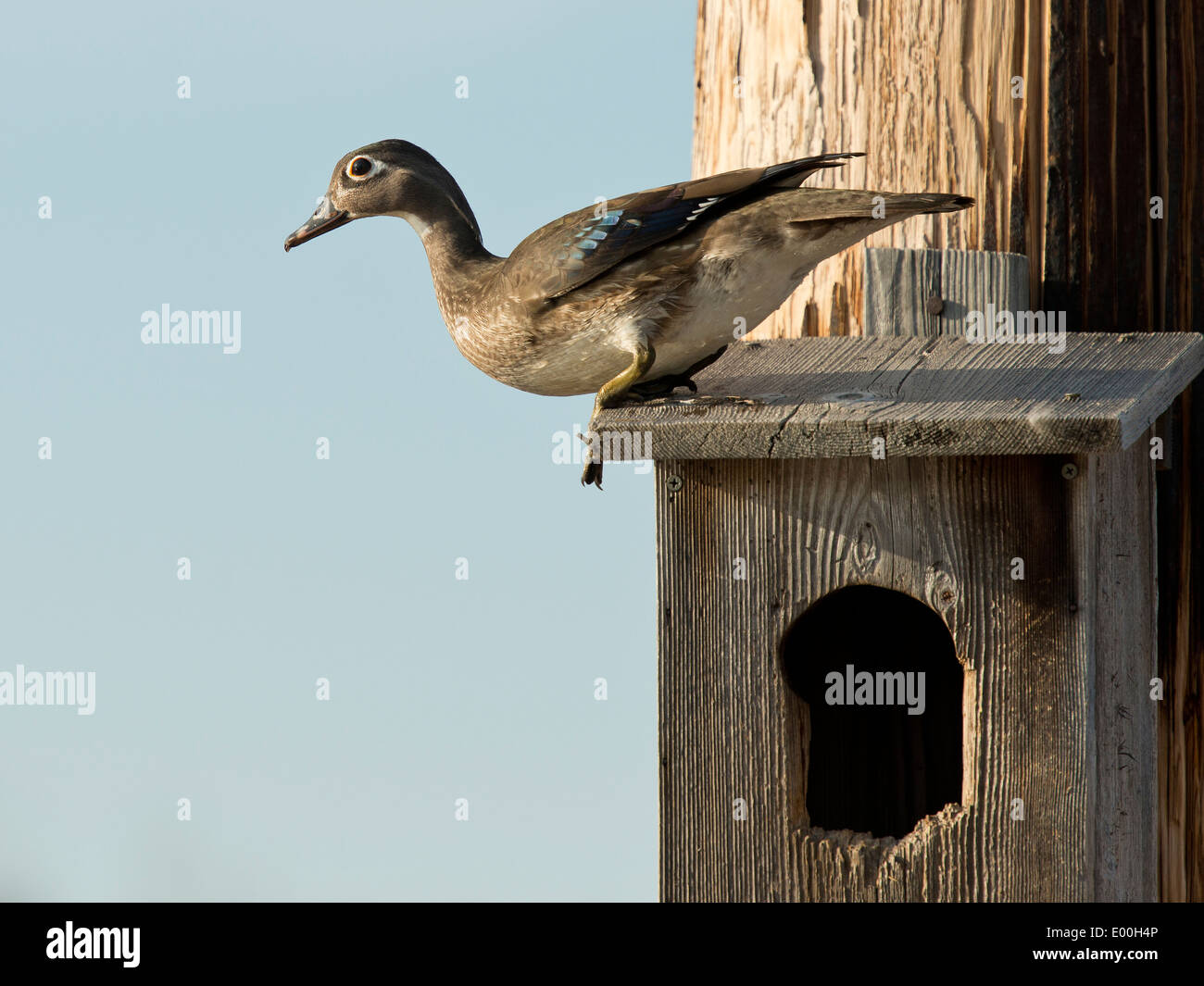 Wood duck nest box stock photos wood duck nest box stock images nesting wood duck stock image publicscrutiny Choice Image