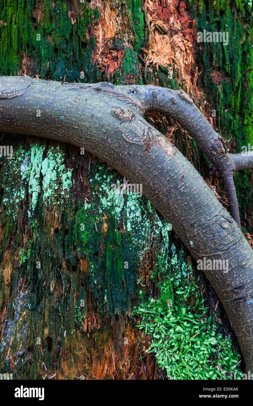 Abstract image of a fir tree root clinging to a nutrient-rich rotting tree stump Stock Photo