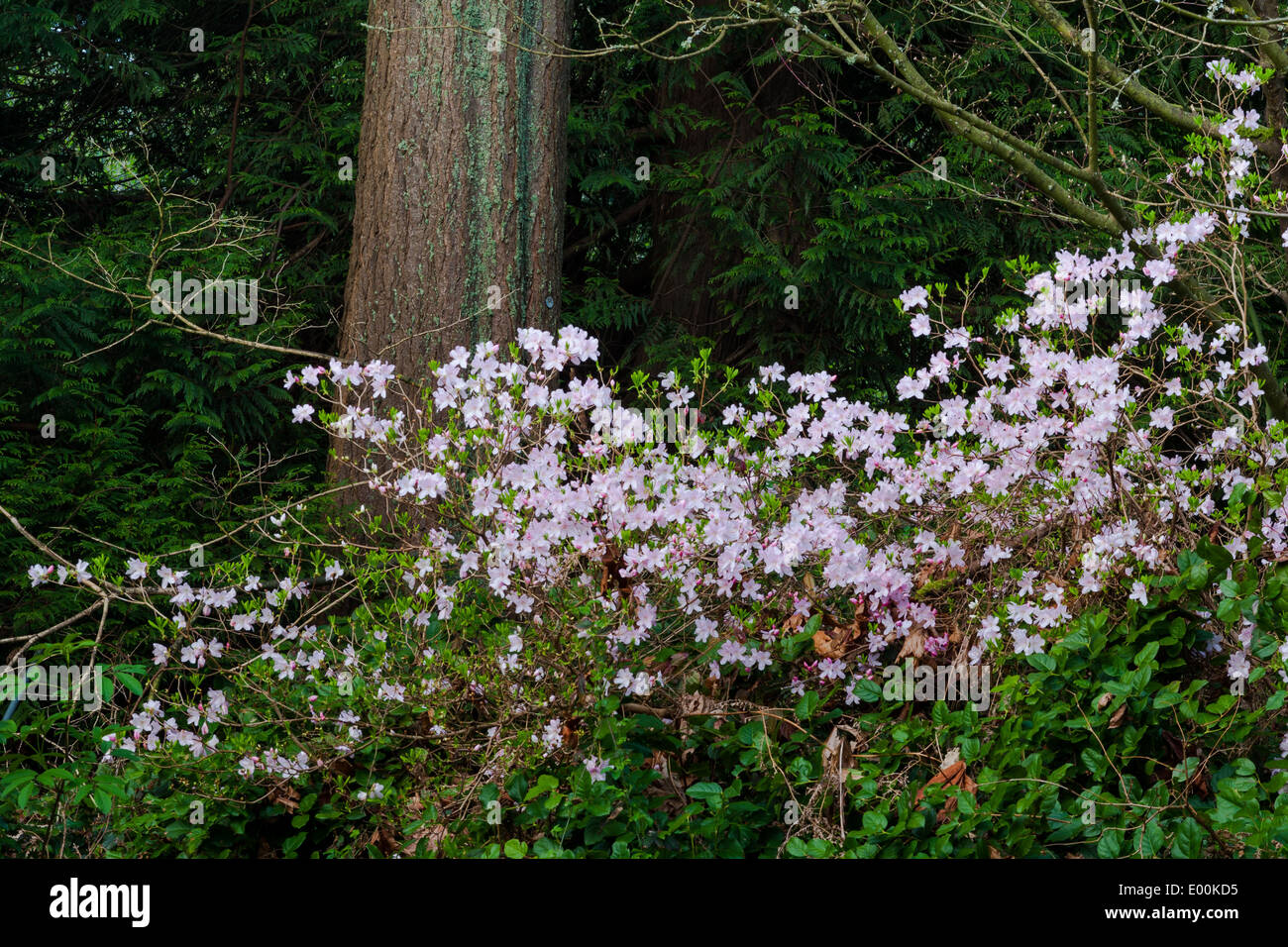 Native species of Rhododendron growing in a temperate rain forest - Stock Image