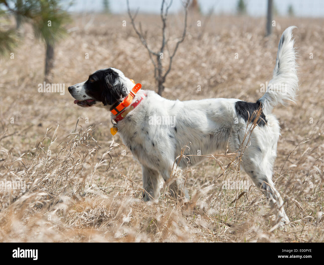 Hunting Dog on Point - Stock Image