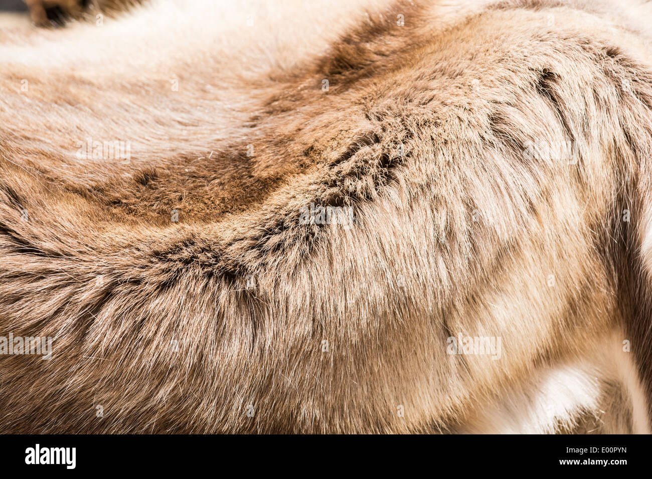 Fur pelt from the carcass of a dead animal Stock Photo