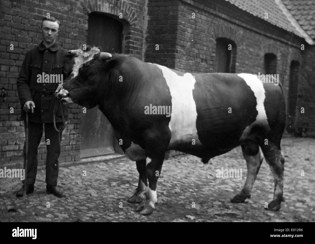 A breeding bull - Stock Image