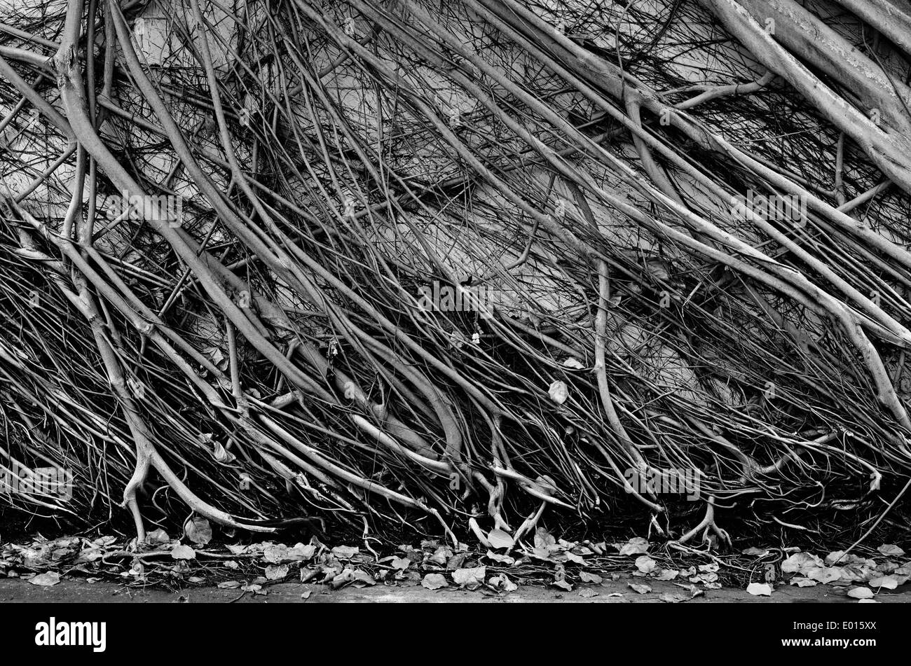 A black and white photograph of A Bhodhi tree roots growing on a wall, slanted. - Stock Image