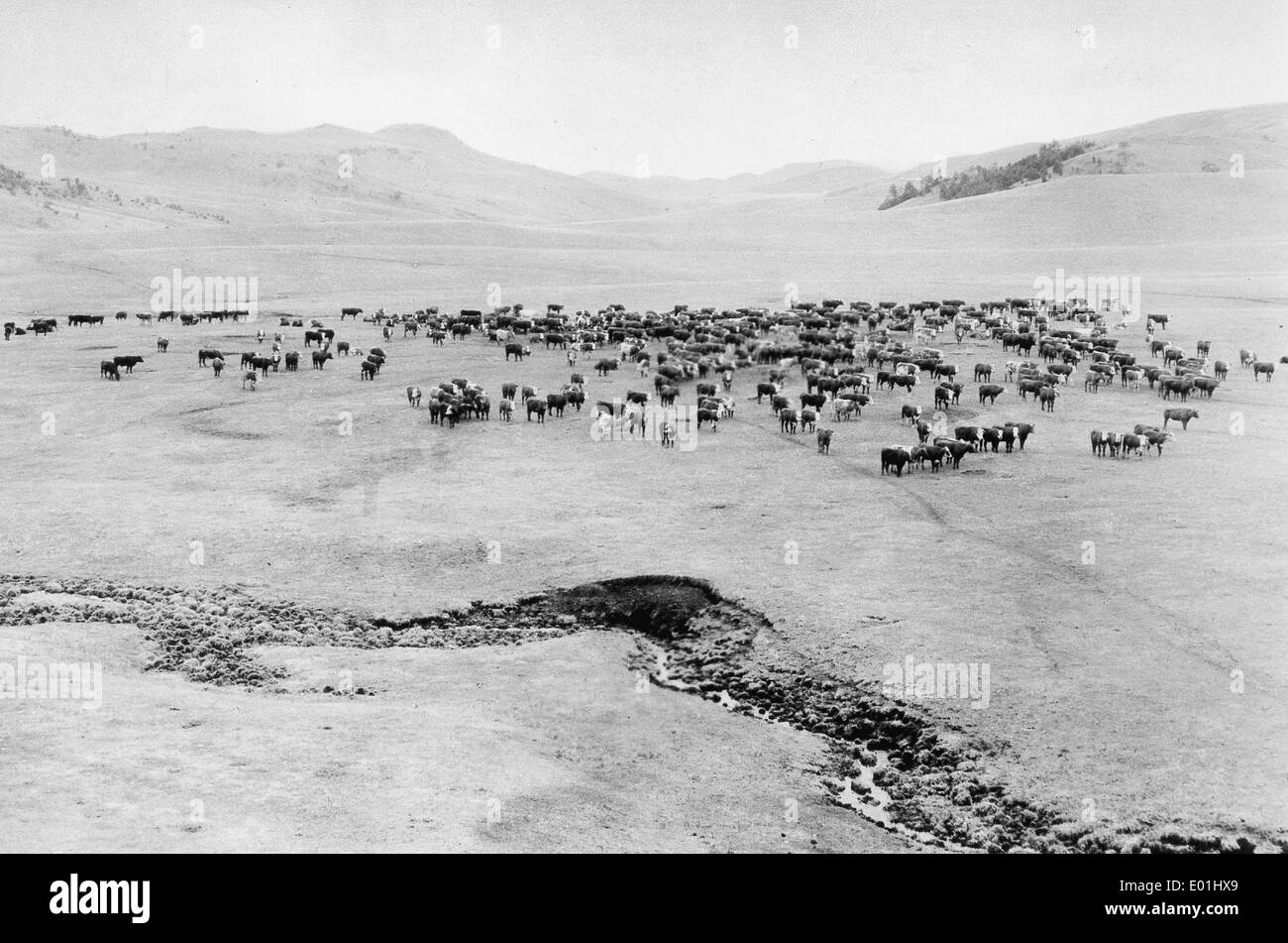 Livestock breeding in Argentina, around 1930 - Stock Image