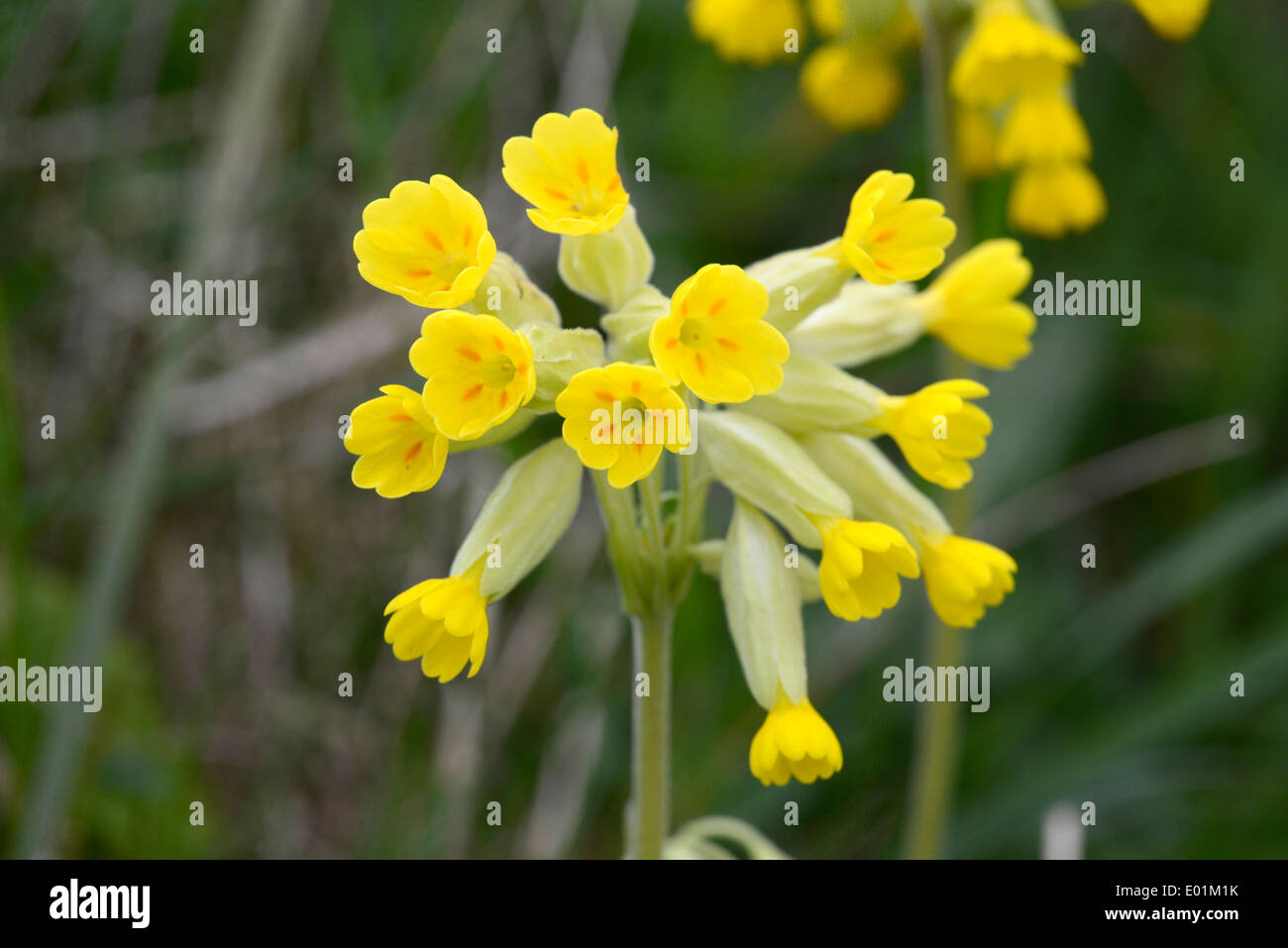 Cowslip (Primula veris) photographed in Hampshire, UK, in April. Stock Photo