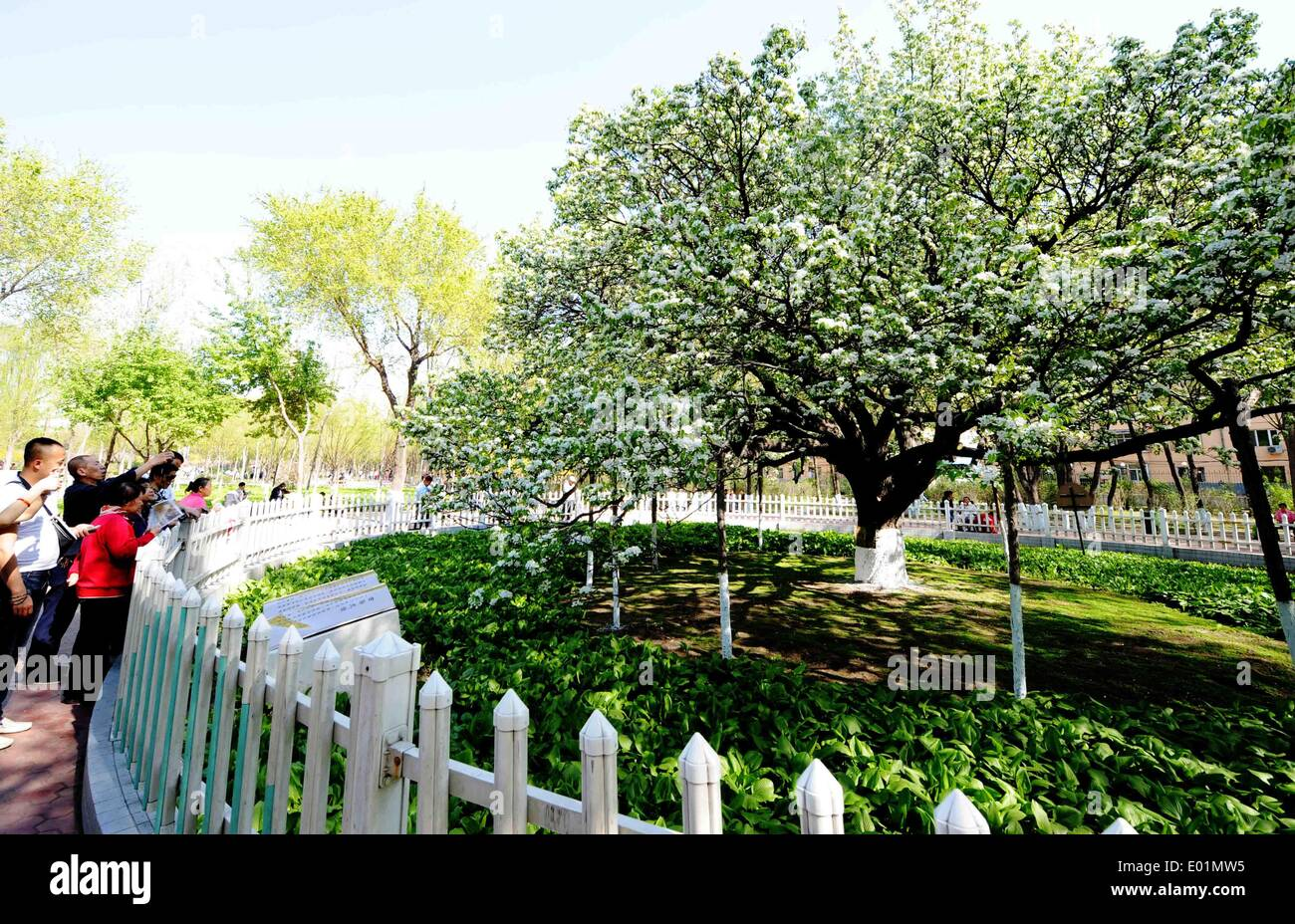 Harbin, China's Heilongjiang Province. 29th Apr, 2014. Citizens take photos of a blossoming pear tree, which is over 120 years old, in Harbin, capital of northeast China's Heilongjiang Province, April 29, 2014. © Wang Jianwei/Xinhua/Alamy Live News - Stock Image