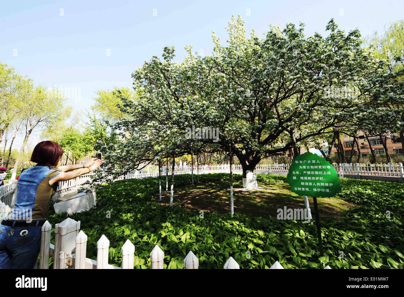 Harbin, China's Heilongjiang Province. 29th Apr, 2014. A citizen takes photos of a blossoming pear tree, which is over 120 years old, in Harbin, capital of northeast China's Heilongjiang Province, April 29, 2014. © Wang Jianwei/Xinhua/Alamy Live News - Stock Image