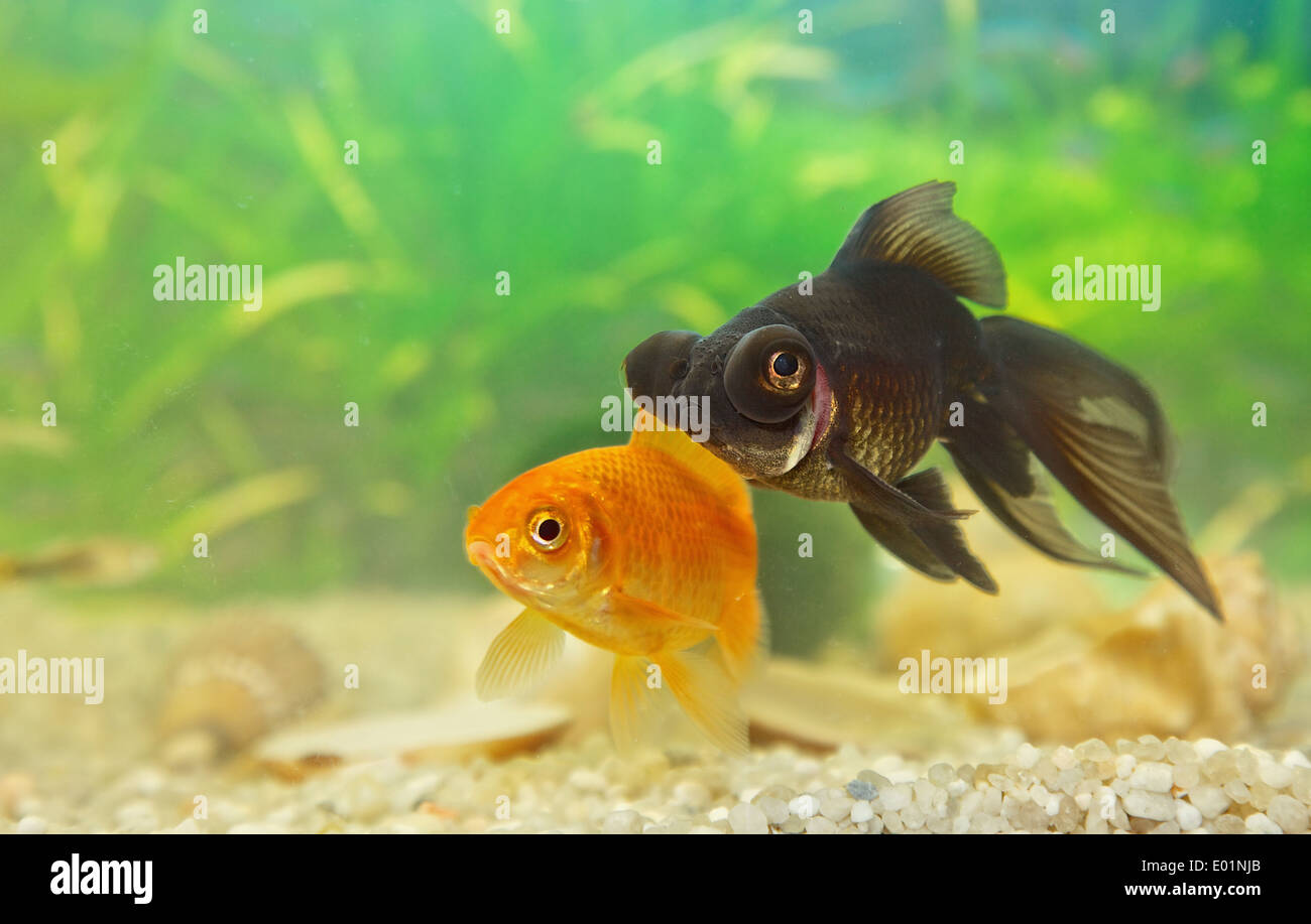 Telescopefish at home aquarium Stock Photo