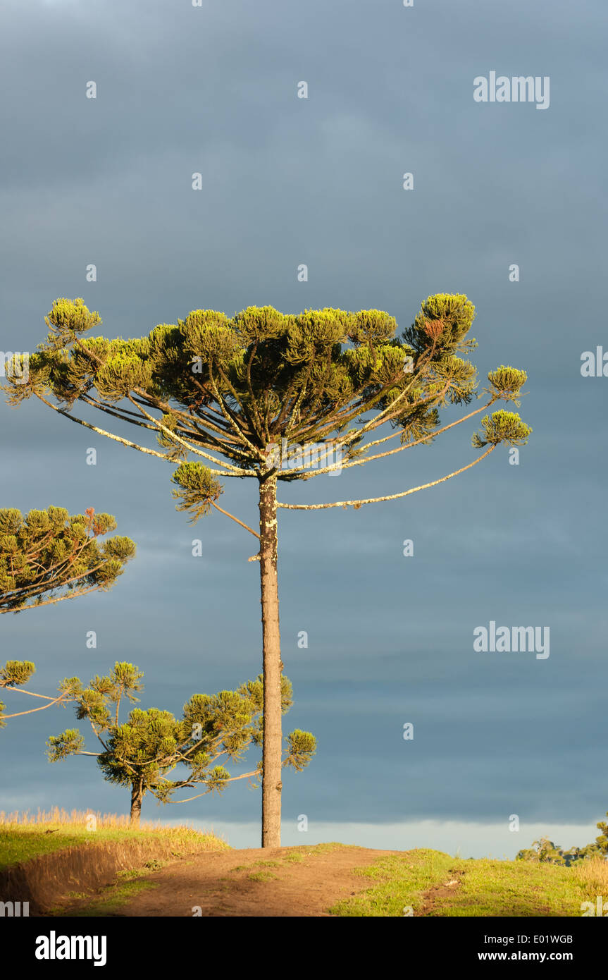Araucaria Parana pine tree in afternoon light, stark agains a steely cloudy sky. - Stock Image