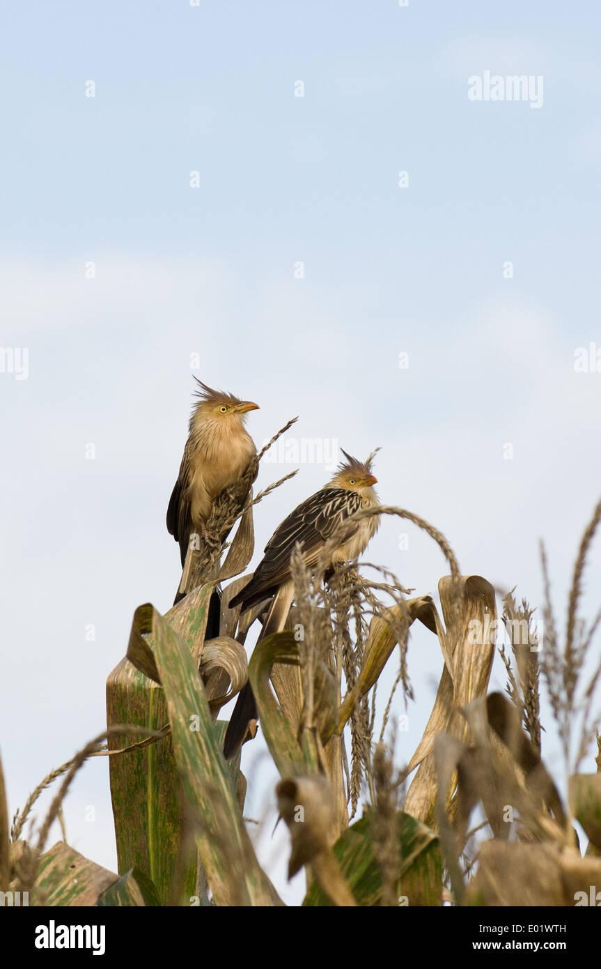Anu branco (Guira guira, guira cuckoo) sitting on sweetcorn plant. - Stock Image