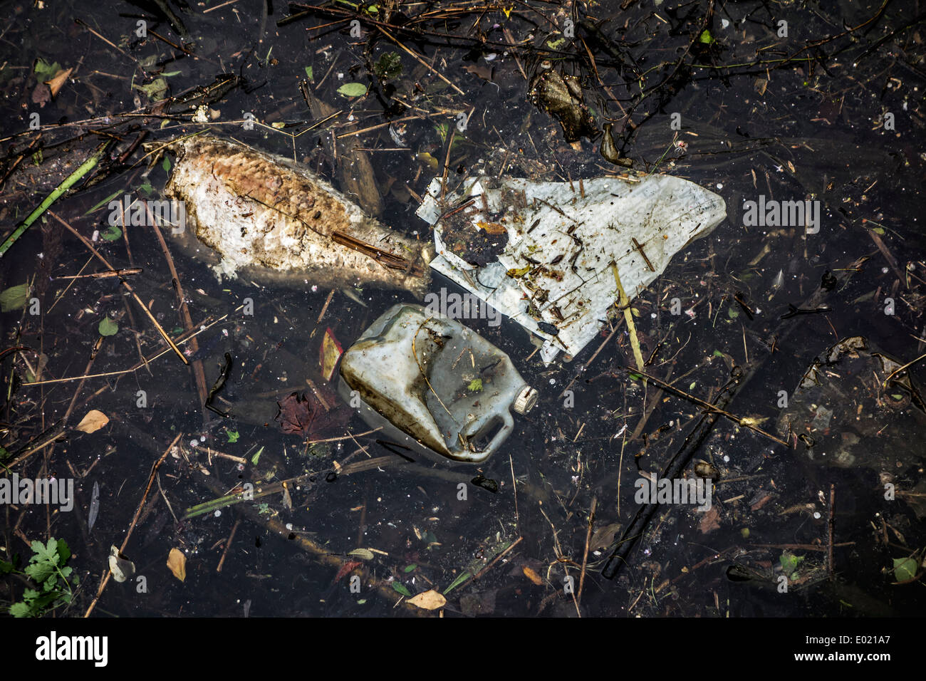 Dead rotten fish floating among rubbish and non-degradable waste in water of river - Stock Image