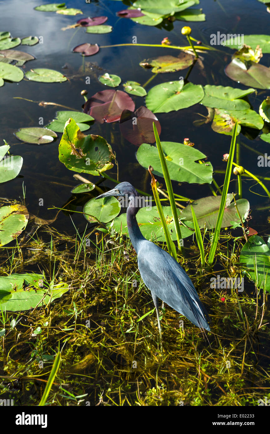 Little Blue Heron (Egretta caerulea) by the Shark Valley loop road, Everglades National Park, Southern Florida, USA - Stock Image