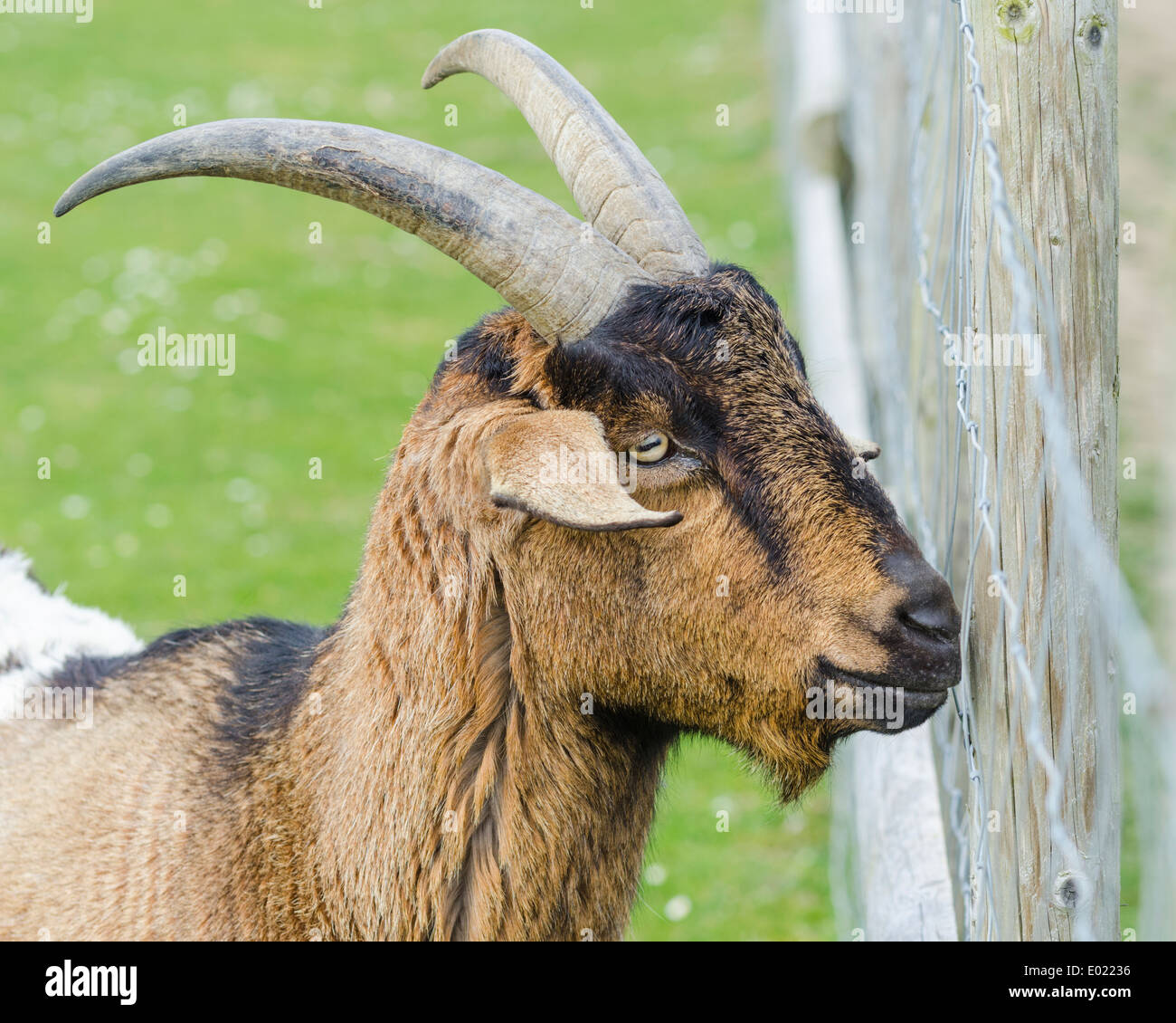 Head of a brown goat standing by a fence in a field. - Stock Image