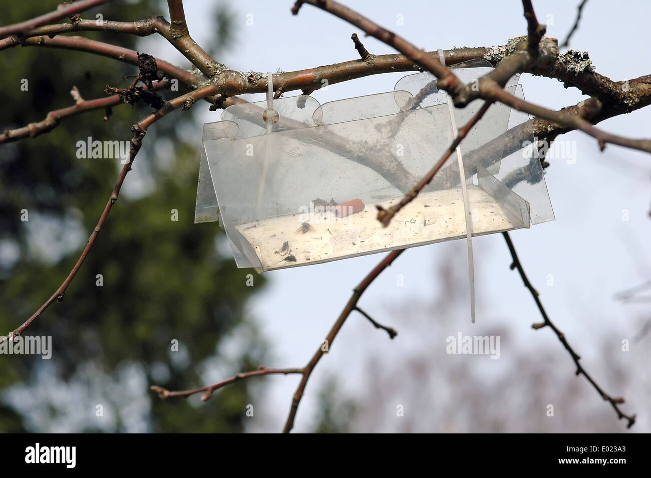 trap for catching insects and protect apple trees - Stock Image