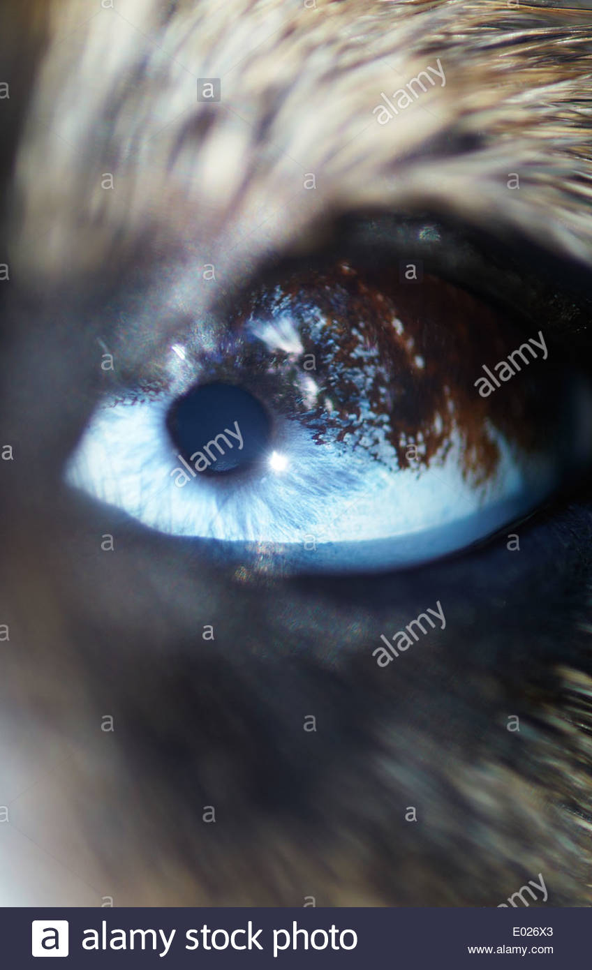 A macro image of a border collie's multicolored eye, which is light-blue and brown; the surrounding skin and fur is blurred - shallow depth of field. - Stock Image