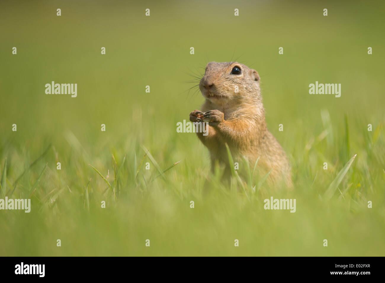 European Ground Squirrel or European Souslik (Spermophilus citellus) on a meadow, Lower Austria, Austria Stock Photo