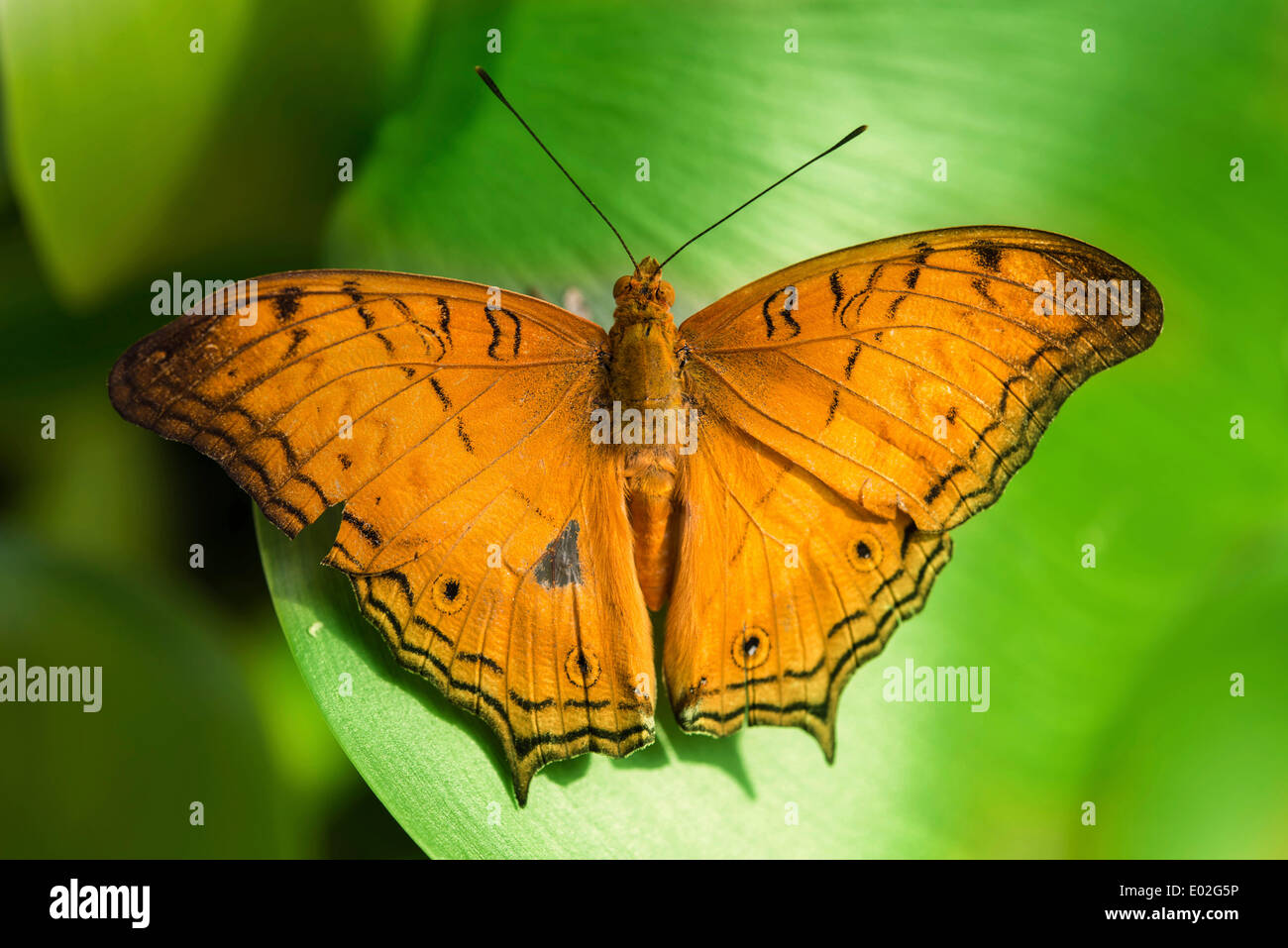 Brush-footed Butterfly (Nymphalidae), captive, Munich - Stock Image