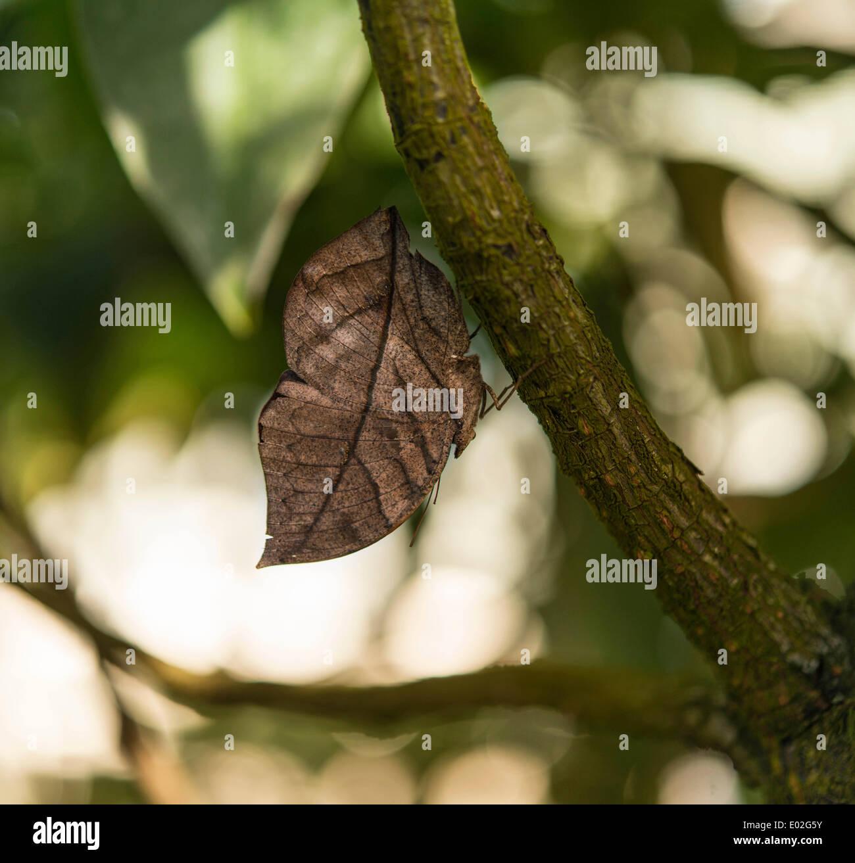 Indian Leafwing or Malayan Leafwing (Kallima paralekta), mimesis, captive, Munich - Stock Image