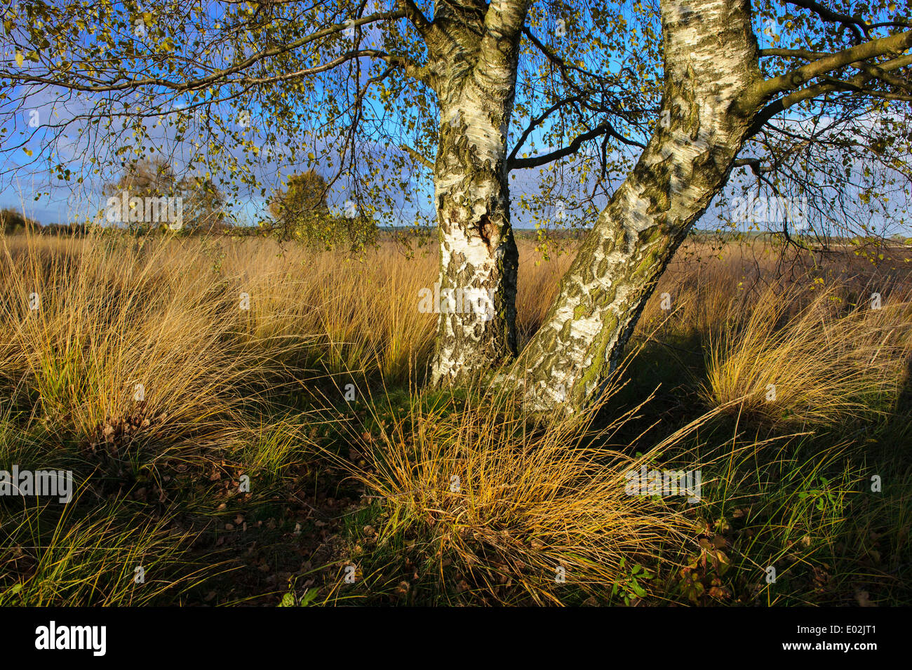 birches in goldenstedter moor, niedersachsen, lower saxony, germany Stock Photo