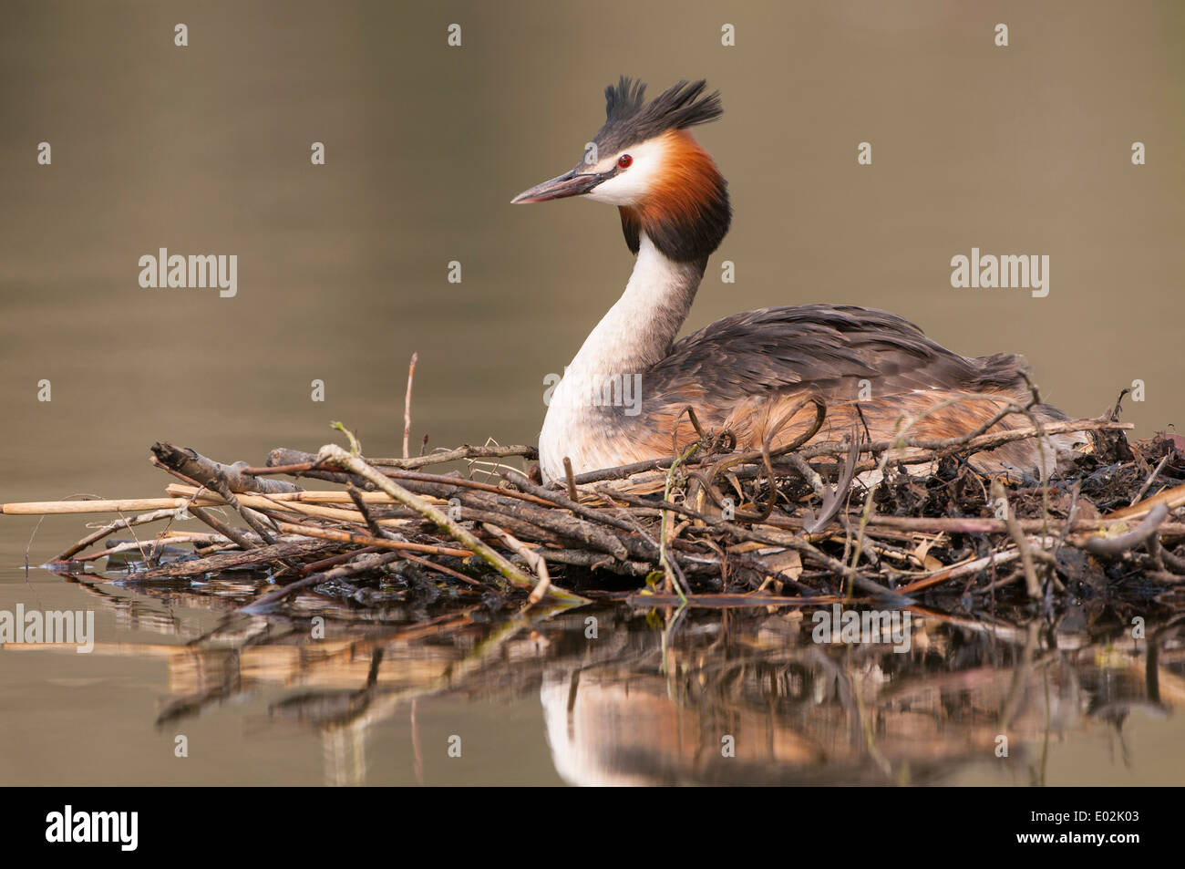 great crested grebe, podiceps cristatus - Stock Image