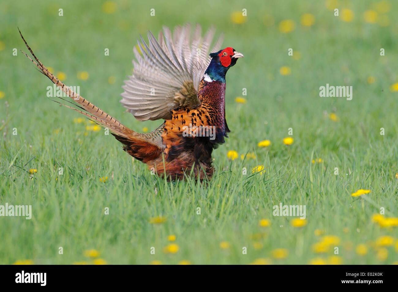 mating call, common pheasant, phasianus colchicus, vechta, niedersachsen, lower saxony, germany - Stock Image