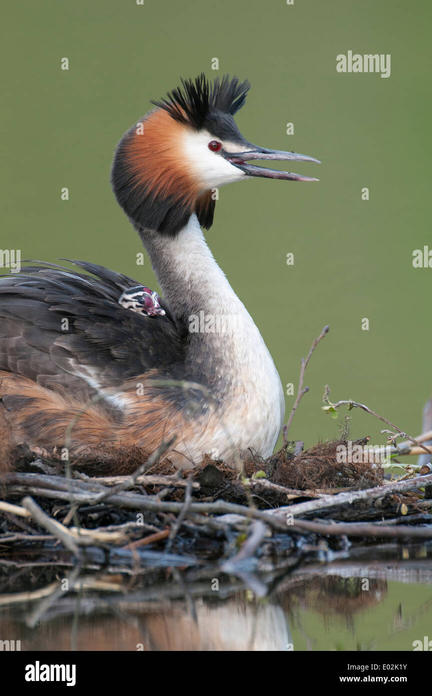 great crested grebe with chick, podiceps cristatus - Stock Image