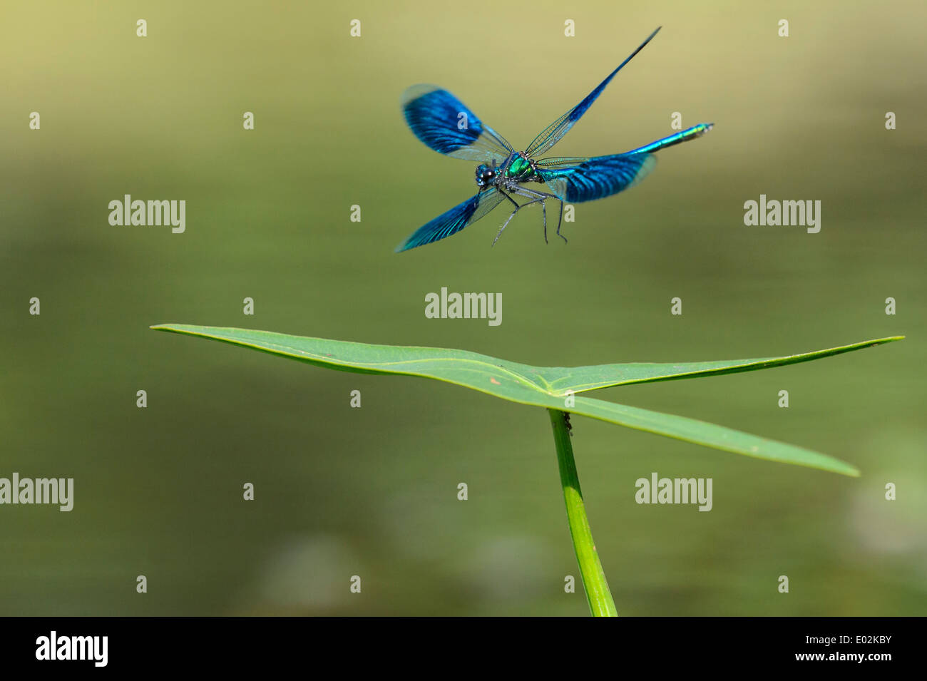 banded demoiselle, calopteryx splendens Stock Photo