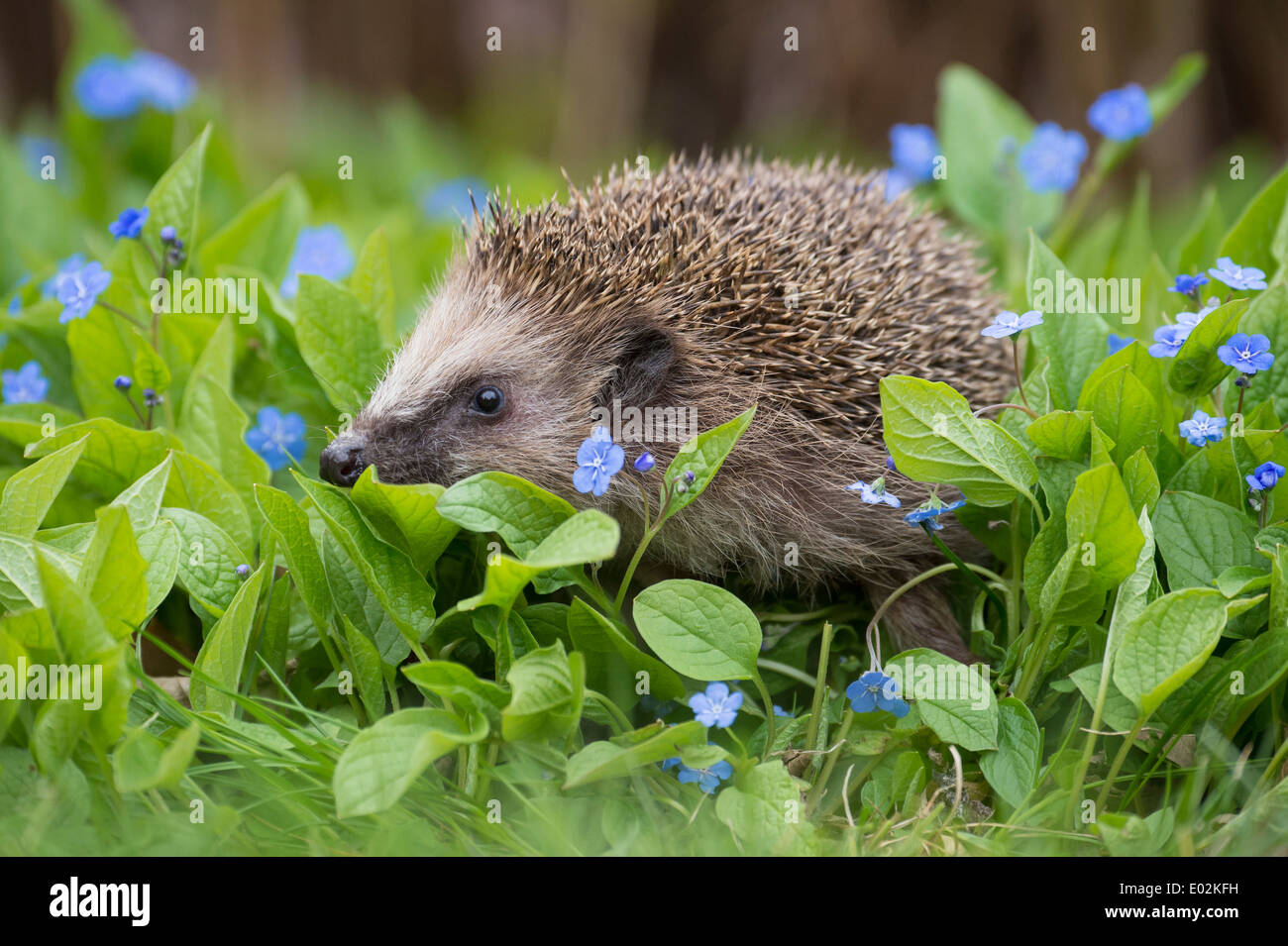 european hedgehog, erinaceus europaeus, germany - Stock Image