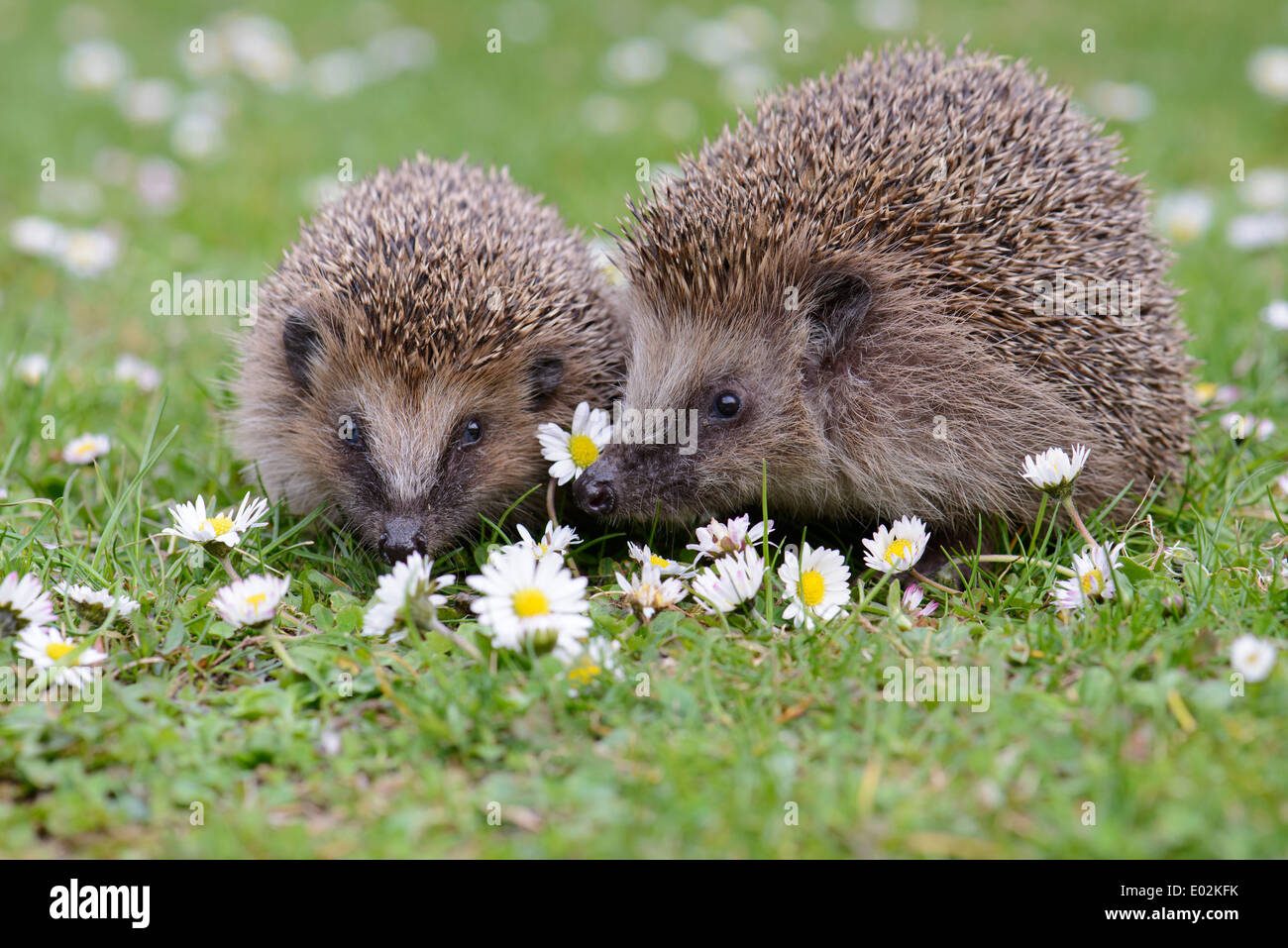 two european hedgehogs, erinaceus europaeus, germany - Stock Image