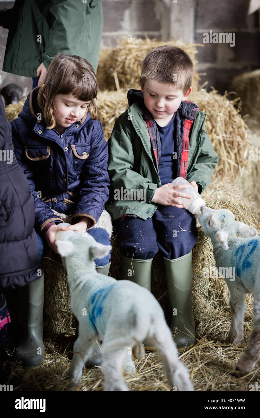 Two children bottle feeding new-born lambs in the lambing shed. - Stock Image