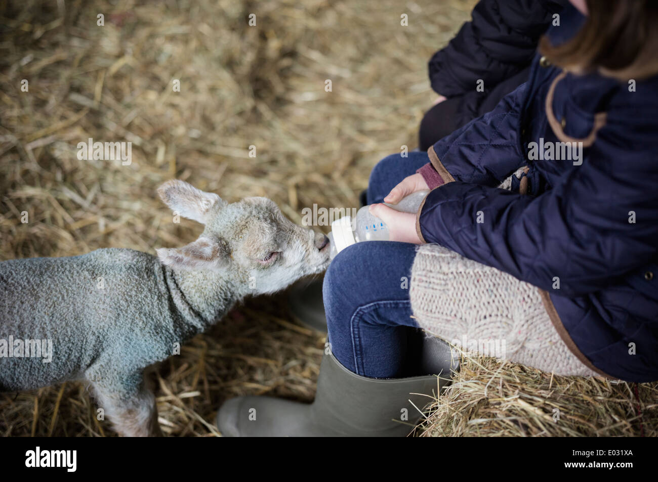 A girl bottle feeding a small hungry lamb. - Stock Image